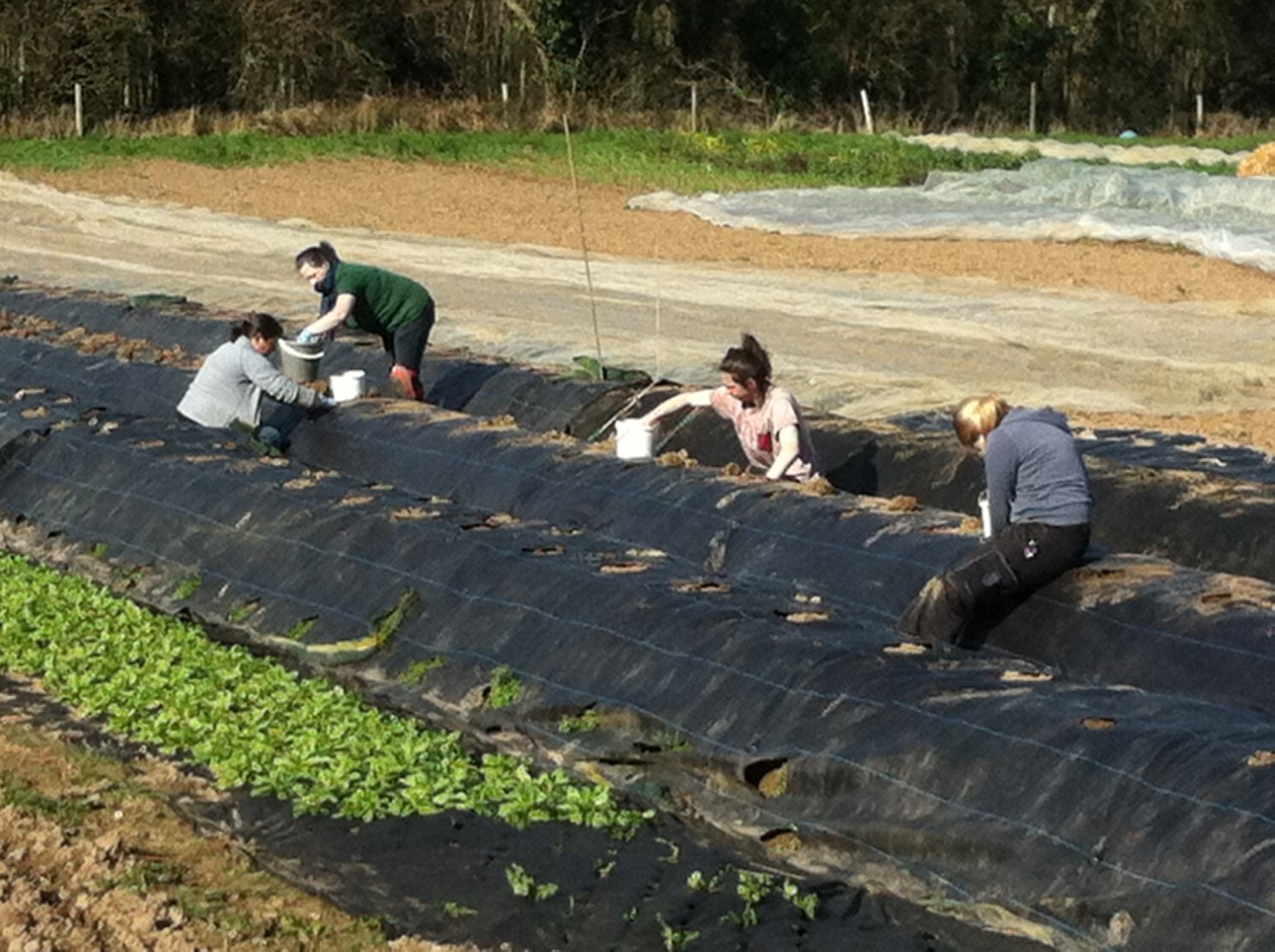 strawberry planting pic